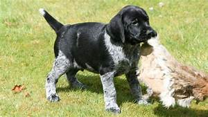 ALL BREEDS DOGS: German Wirehaired Pointer dog