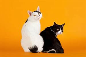Two Japanese Bobtail Cats