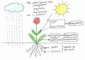 Plant Respiration Diagram  Plant  Free Engine Image For
