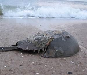 prehistoric horseshoe crab | prehistoric,ancient,fossils ...