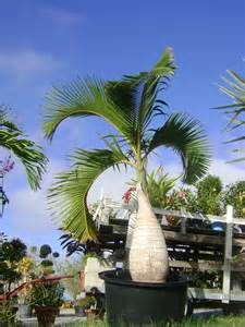 buy bottle palm trees for sale in orlando kissimmee