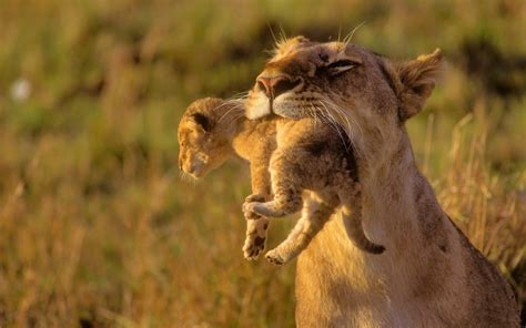 Animal Cubs Wallpapers - animals cubs africa lions baby animals wallpaper