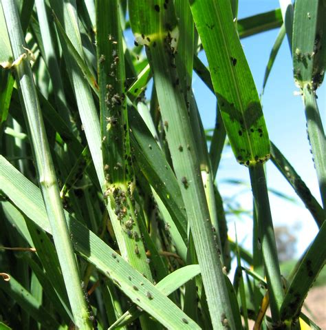 diagnosing cereal aphids agriculture and food