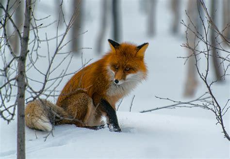 auf maeuse unter dem schnee lauschend forum fuer