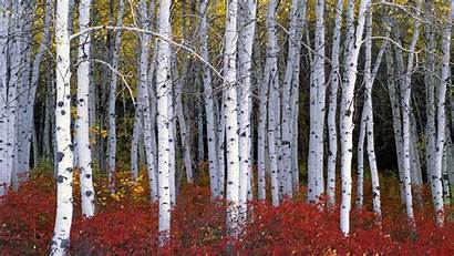 Birch Tree Trees Forest Fall Wood Branch