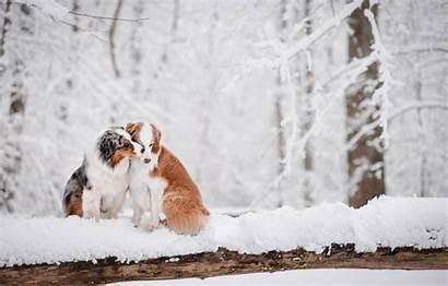 Australian Shepherd Winter Snow Aussie Dogs Dog