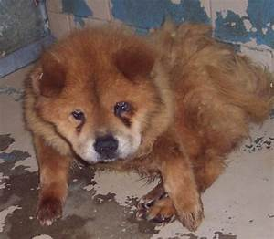 adopt chow call Greenville IN 847-4780!   Adopt a chow ...