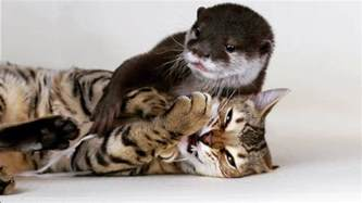 and cat sam the bengal cat pip the otter