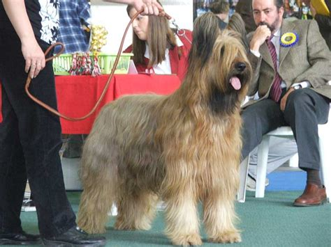 briard dog breed information puppies pictures
