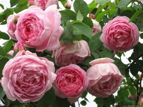 pink david roses 467 best david austin roses images on pinterest david austin roses garden roses and color studies