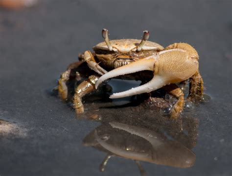 fiddler crab shrimps communicate using a secret polarized light language