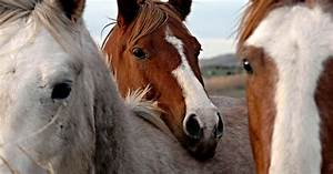 Horse Slaughter Is Not Euthanasia | Learn More | ASPCA  Animal