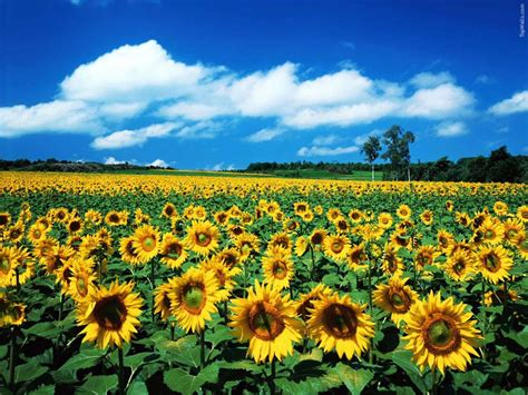 sun flower garden million sunflower garden of guangzhou china travel blogs