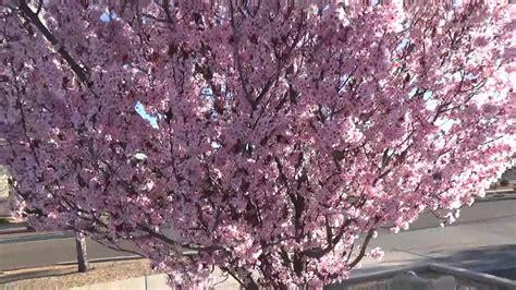 purple leaf plum trees purple leaf plum plant tip in 30 sec youtube