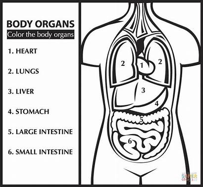 Coloring Anatomy Pages Organs English Printable Learn
