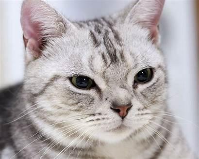 Shorthair Gorgeous American Cat 1024 1280