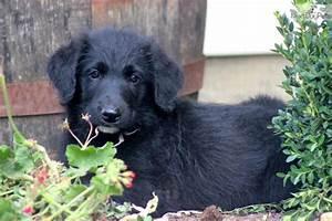 Shepadoodle puppy for sale near Lancaster, Pennsylvania ...