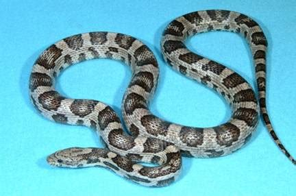 corn snake colors with corn snakes