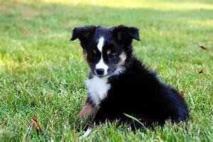 Black Mini Aussie Puppies | www.pixshark.com - Images ...