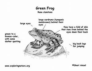 Frog Diagram Labeled  U2014 Untpikapps