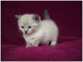 miniature cat cats are so cats breed