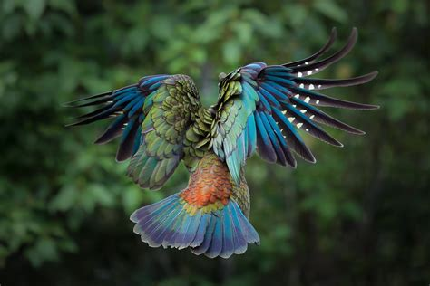 flying colorful bird wallpapers  images wallpapers