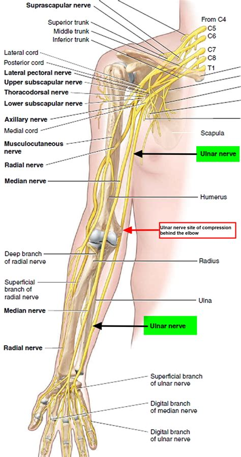 Ulna Diagram Neck by Pinched Nerve In Neck Arm Shoulder Causes Symptoms