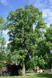 Tulpenbaum Harpstedt Wikipedia
