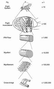 Organizational Levels Of The Flight System Of Drosophila