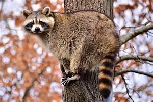 Virginia Living Museum | Raccoon Antics 1