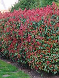 Photinia Fraseri Robusta Compacta : sub tropical trees wholesale nurseries care transplanters sunshine coast brisbane south east ~ Buech-reservation.com Haus und Dekorationen