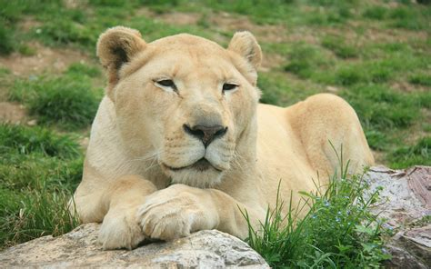 Fondos De Pantalla De Leones Fonditos Leona Animales Leones Mascotas Felinos