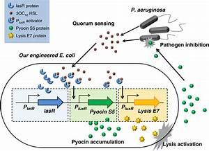 Engineering Microbes To Sense And Eradicate Pseudomonas