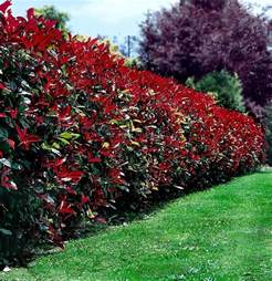 Plants Used Topiary
