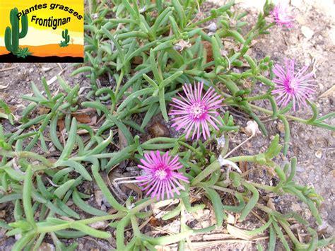 le floraison et croissance fleurs mauves qui se ferment la nuit