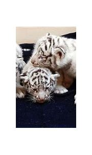 Quintuplet White Tigers Crawl Into the Public Eye - ABC News