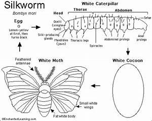 Silkworm Moth Printout