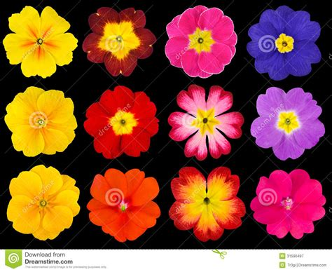 Collection Of Colorful Primroses Isolated On Black Stock