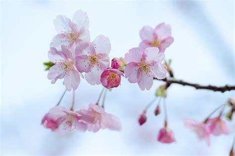วอลเปเปอร์ : ดอกไม้, เบ่งบาน, สีชมพู, สาขา, ดอกซากุระ, ฤดู ...