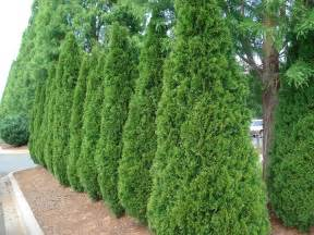 medium sized privacy trees to block nosey neighbors fast growing trees