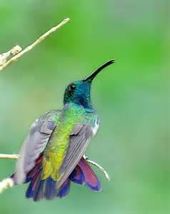 Black-throated Mango Bird