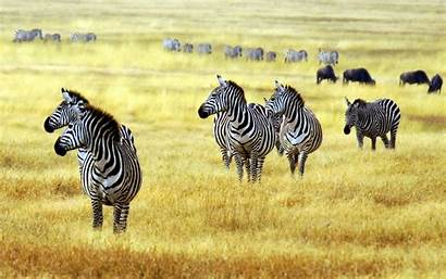 Zebra Wallpapers Wallpaperxyz Animal