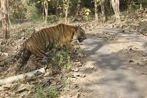 Tiger Safari - Picture of Sanjay Gandhi National Park ...