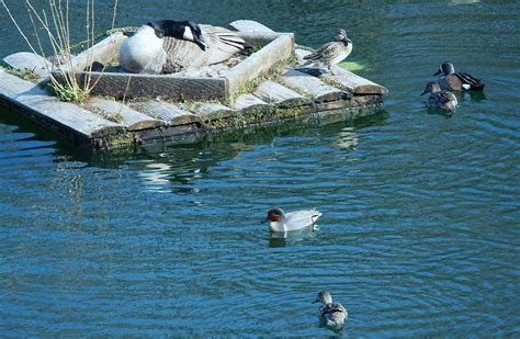 green winged center  blue winged teal upper