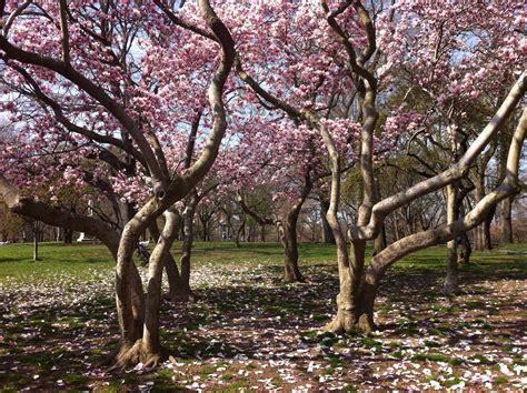magnolia trees magnolia trees conquerthecity