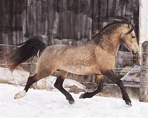 Sooty Buckskin Welsh Cob stallion | Chocolates, Caramel ...