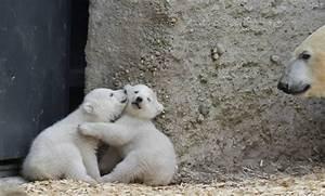 Twin polar bear cubs play as their mother Giovanna watches ...