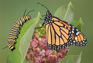 How To Raise Butterflies