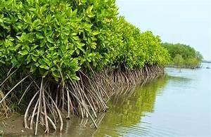 6 000 Hektare Mangrove Di Sumut Hancur