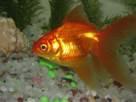 maladie des poissons rouges d aquarium probl 232 mes eau trouble